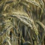 Mąka żytnia – typy i...