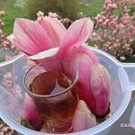 Syrop z kwiatów...