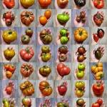 43 odmiany pomidorów...