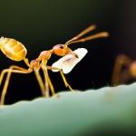 Mrówki faraona w domu -...