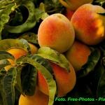 Nalewka brzoskwiniowa (...