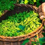 Zielona herbata przeciw s...