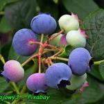Nalewka z owocow borowki ...