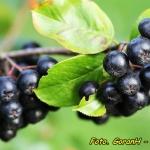 Nalewka z owoców aronii...