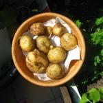 Uprawa ziemniaków na...