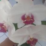 Storczyki Phalaenopsis -...